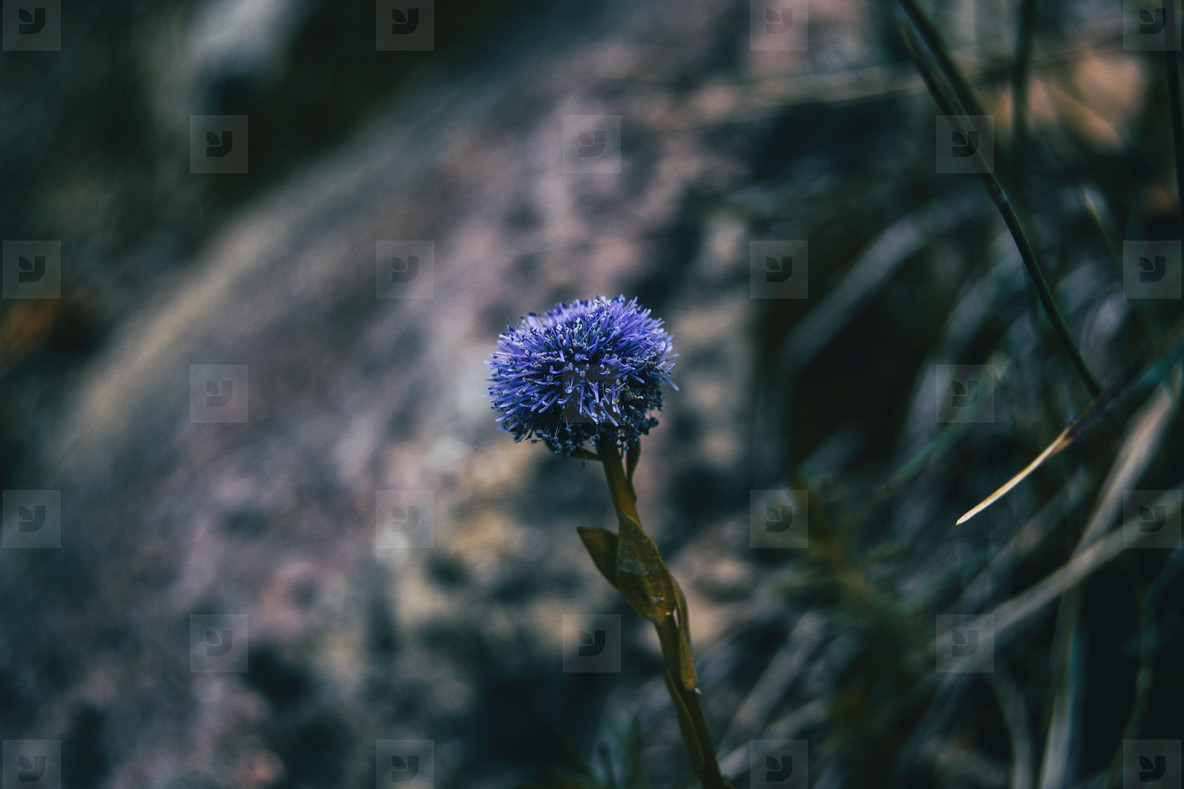Close up of an isolated purple inflorescence of globularia