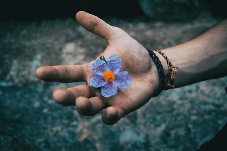 A human hand holding a bluish flower of cistus albidus