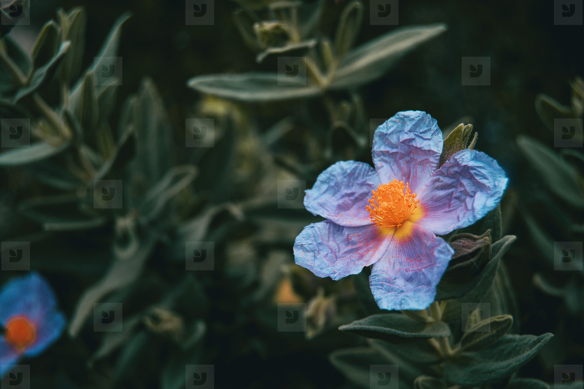 Detail of an isolated bluish flower of cistus albidus with intense yellow stamens