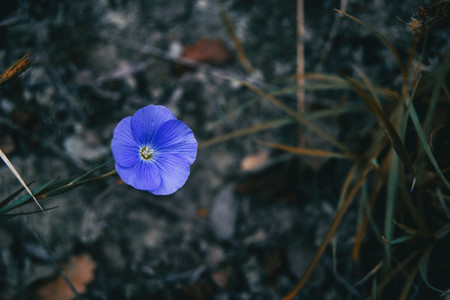 Close up of an isolated blue flower of linum narbonense