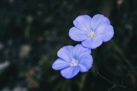 Detail of two blue flowers of linum narbonense