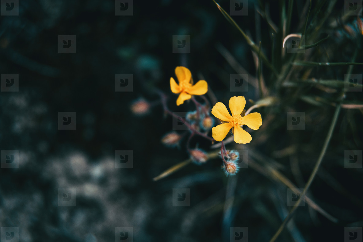 Close up of a small yellow flower of helianthemum