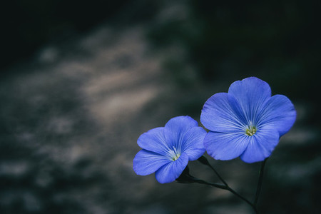 Close up of two blue flowers of linum narbonense