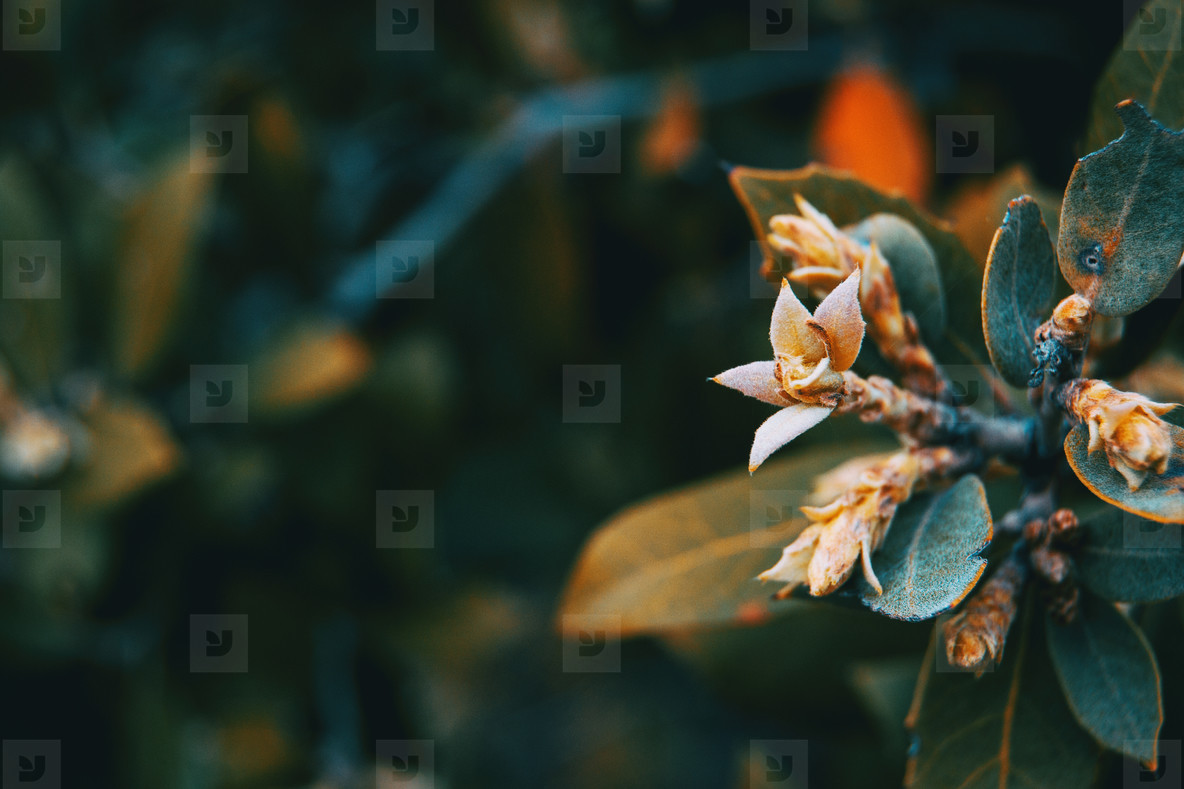 Close up of a small eleagnus flower on a bunch