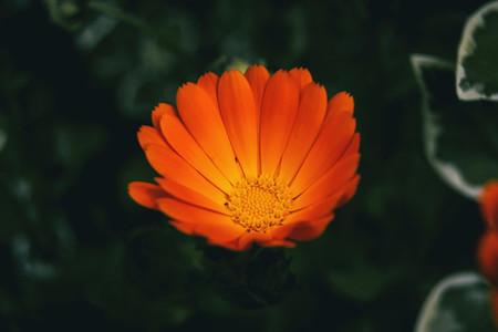 Close up of an orange flower of calendula officinalis