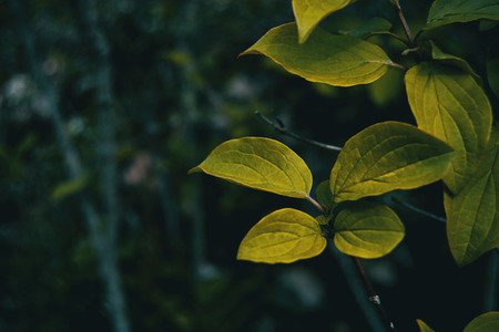 Detail of some green leaves of a cornus tree