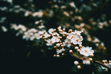 Close up of a bunch of white flowers and buds of pyracantha