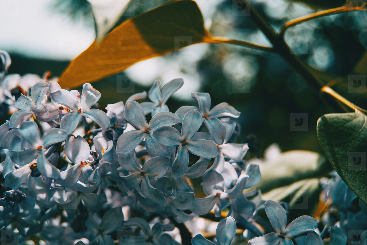 Close up of some small white flowers of syringa vulgaris on a bunch