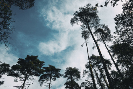 The silhouettes of some tall trees against a cloudy sky