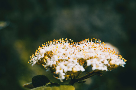 Close up of a bunch of small white flowers with erected yellow stamens of viburnum tinus