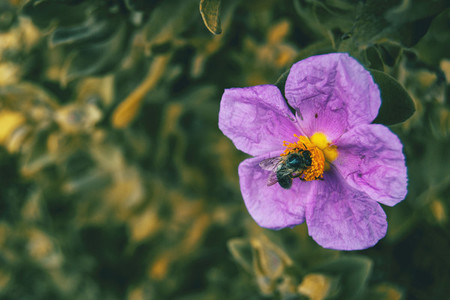 Detail of a black bee pollinating a purple flower of cistus albidus