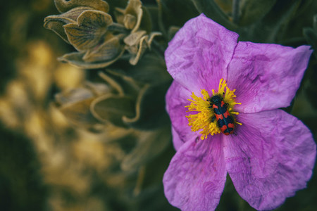 Macro of a purple flower of cistus albidus with a black and red beetle on its stamems