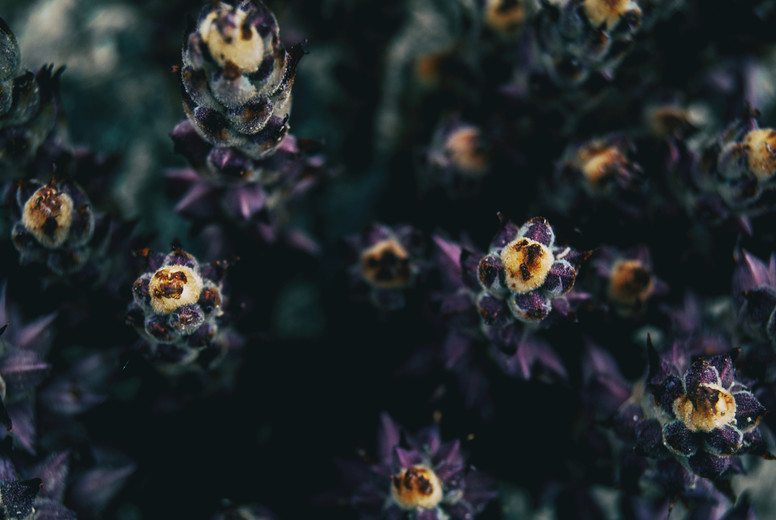 Macro of the yellow tips of some purple spike plants in the wild