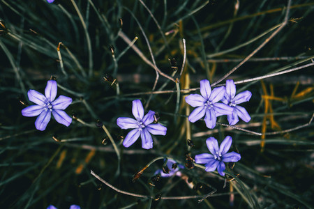 Close up of some violet flowers and buds of aphyllanthes monspeliensis