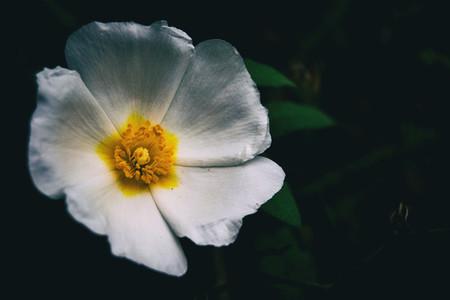 Macro of a white flower of cistus salviifolius