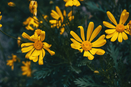 Close up of some yellow flowers of euryops