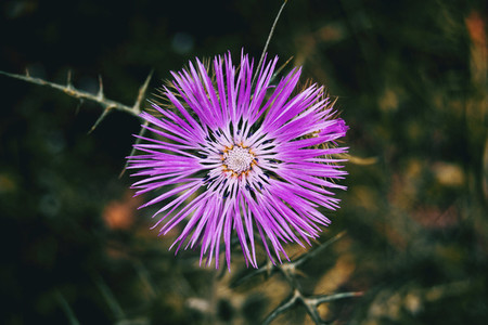 Detail of an isolated purple flower of galactites tomentosa