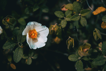 Close up of a white flower of cistus salviifolius