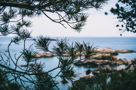 Close up of some branches of a tree and its thin pointed leaves with the sea unfocused on the background