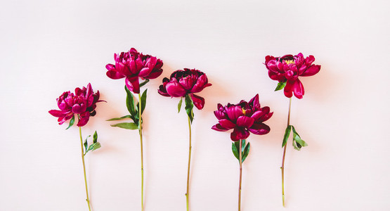 Flat lay of summer purple peonies with green leaves  top view