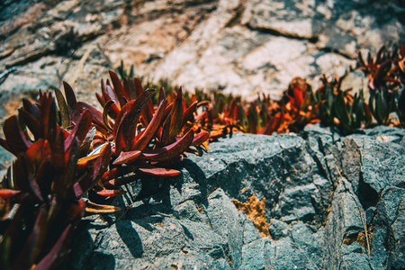 Detail of some succulent reddish leaves of carpobrotus growing on a rocky slope