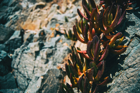 Detail of some succulent green and reddish leaves of carpobrotus growing on a wall stone