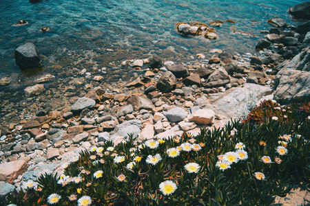 A bunch of white carpobrotus flowers growing next to a rocky shore