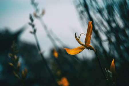 yellow genista flower in nature seen from close up