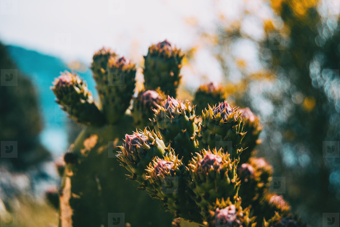 Detail of some buds of an opuntia cactus