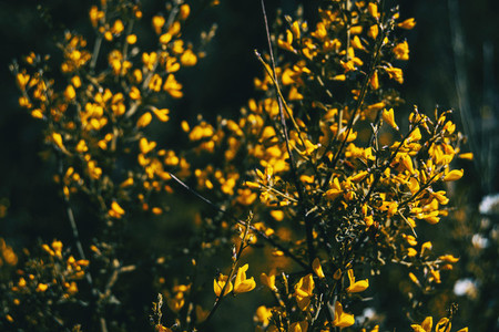 Close up of a bunch of yellow flowers of cytisus scoparius