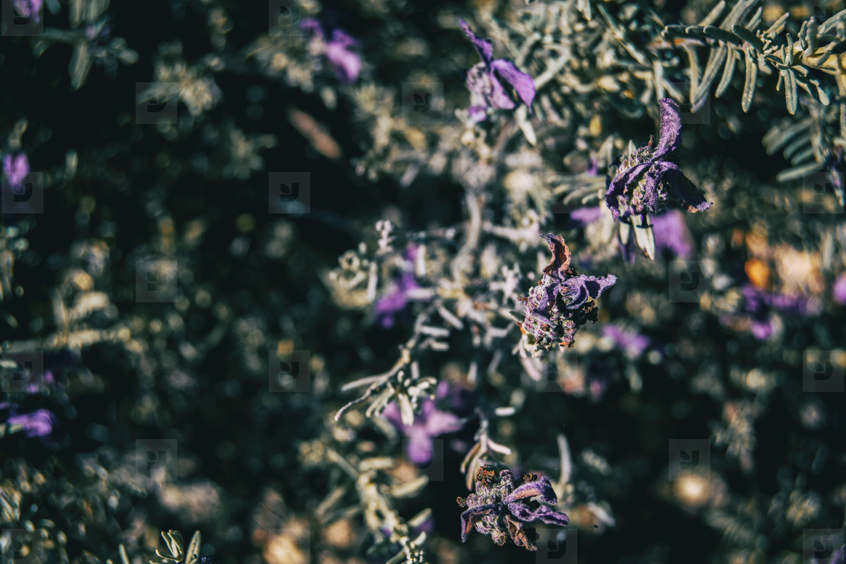 Close up of some dried purple flowers of lavandula