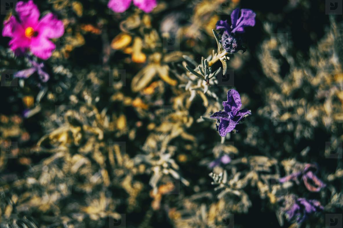 Close up of a small purple flower of lavandula