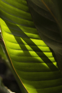 Sunlight shadow forming on tropical green leaf