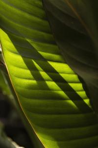 Sunlight shadow forming on tropical green leaf