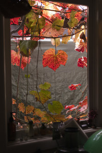 Autumn ivy leaves hanging over kitchen window