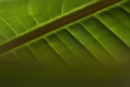Close up veins in green tropical leaf
