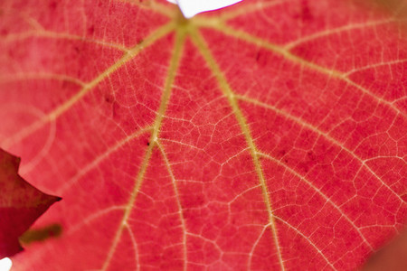 Close up vibrant red autumn leaves