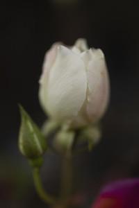 Close up white and pink rosebud