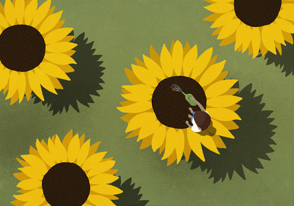 Woman watering large sunflowers on green background