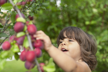 Cute toddler boy picking plums off tree branch
