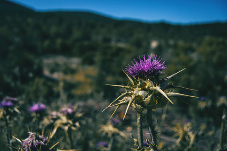 field full of lilac thistle flowers with thorns