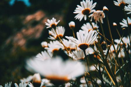 many white daisy flowers seen from below