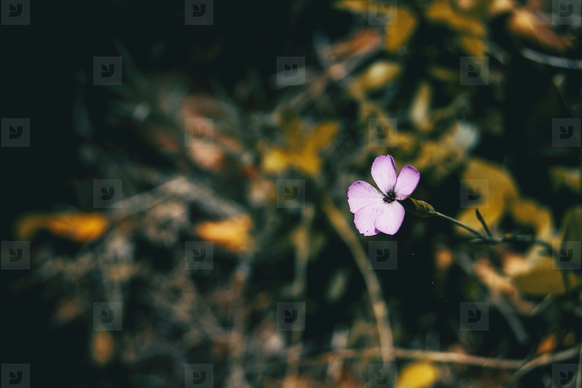 a single small pink carnation flower