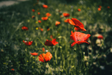 a field full of red poppy flowers on a sunny day