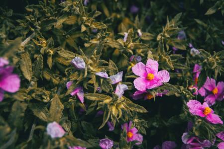 pink flowers of cistus albidus in nature