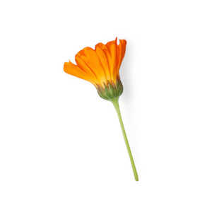 Cut Flower 19