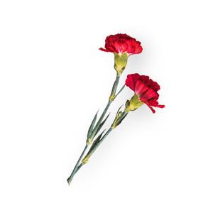 Cut Flower 26
