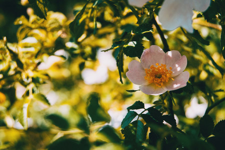 white rosa canina flower in nature sunny summer day
