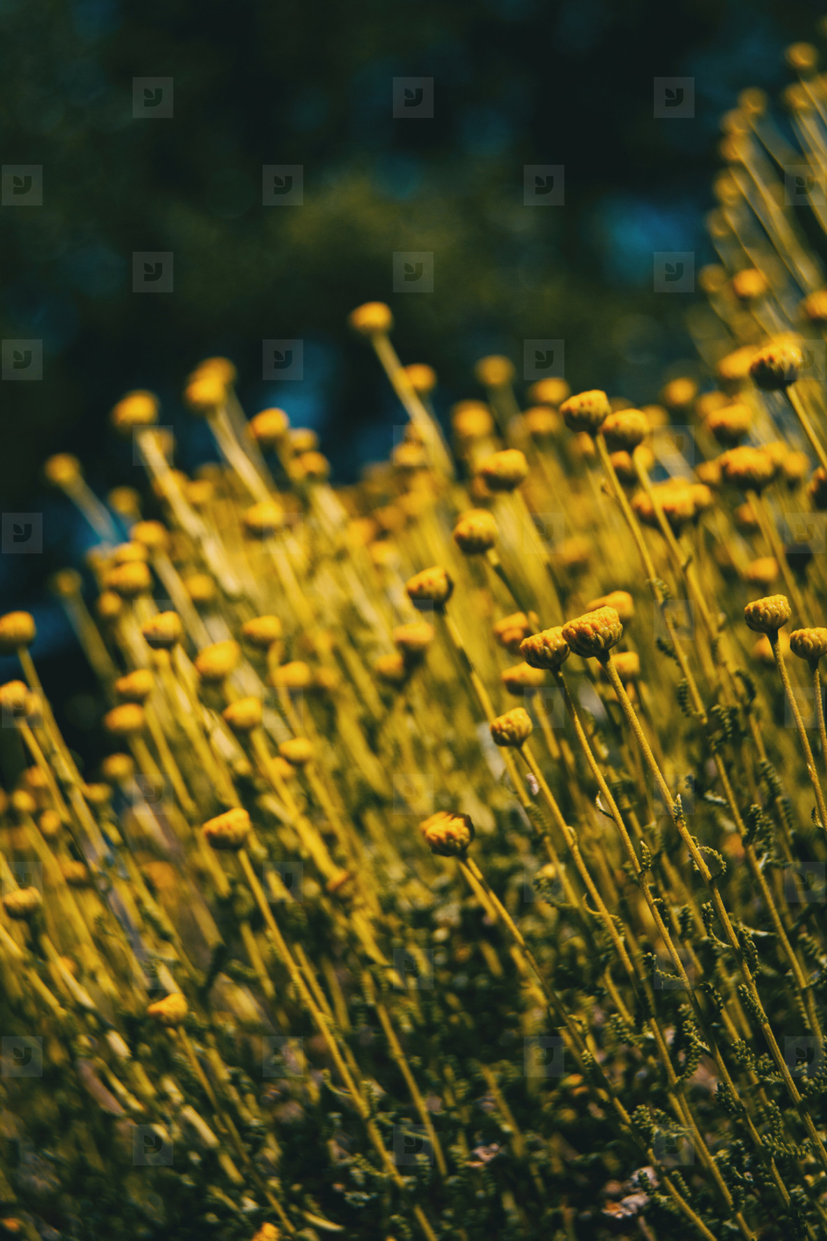 field full of yellow colored santolina in a field