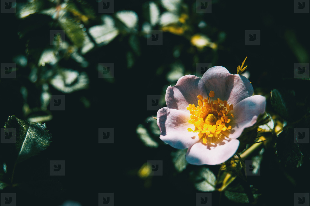 white rosa canina flower in nature